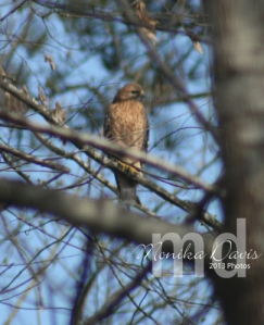 A hawk came by last week - I believe this is a Cooper's Hawk.