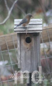 Female Eastern Bluebird building a nest in the bird house