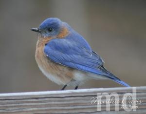 The male Eastern Bluebird sitting on my porch rail.