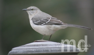 A mocking bird visiting on the porch.