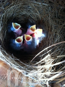 Bluebird babies 4/7/2013 - five hungry babies waiting for mom & dad to bring food.