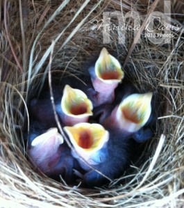 "Baby Bluebirds - one got food and the others are saying ""me, me, me, me!"""