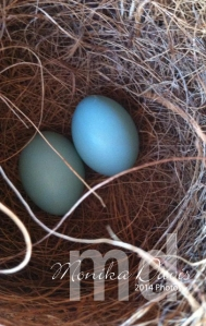2 Bluebird eggs in the nest on March 8th