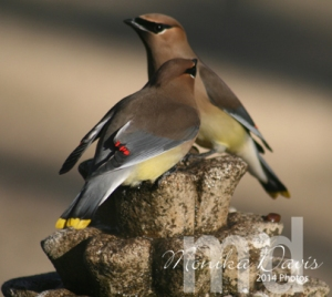 "Cedar Waxwing's at the fountain.  Brightly ""dipped"" wings in red and yellow on the tail."