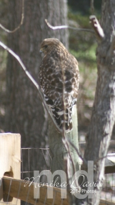 the Hawk was in the yard recently