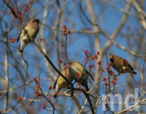 The Cedar Waxwings like the blossoms.