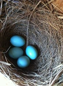 4 Bluebird eggs on April 26th