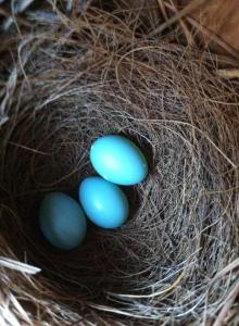 3 bluebird eggs on April 25th