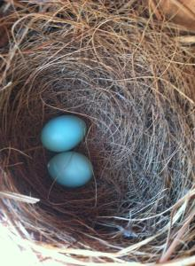 2 bluebird eggs on April 24th