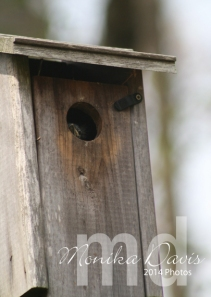 "One of the bluebird babies peeking out of the house.  ""Hey what's out there?"""