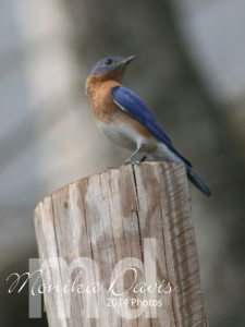 The male bluebird sitting watch on the fence post.