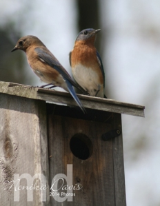 mom and dad bluebird sitting on the house